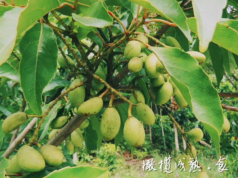 橄欖-台灣最美農村故事館